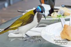 Blue headed Honeyeater (stormgirl1960) Tags: blue bird breakfast nationalpark wildlife katherine australia honeyeater outback headed northernterritory feathered nitmiluk pandanus sociable