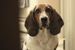 111 / 365 (Tara Gadwell) Tags: dog hound basset doggy bassethound doggie hounddog 365project 365challenge 365daychallenge 365dayproject