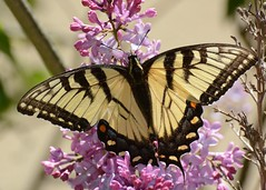 Eastern Tiger Swallowtail - 1st Butterfly of Season (JDA-Wildlife) Tags: closeup wow butterfly nikon johnny easterntigerswallowtail nikon70300mmf4556gifedafsvr butterfliesetc nikond7100 whatbirdbestofday butterflyswallowtaileasterntiger jdawildlife