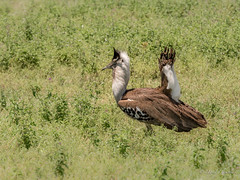 Male kori bustard courtship display (davdenic  in the sky ) Tags: africa nature tanzania wildlife safari ngorongoro serengeti savanna savana