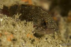 Juvenile Rockfish (worldwithin) Tags: canon underwater 7d 100mmmacrof28