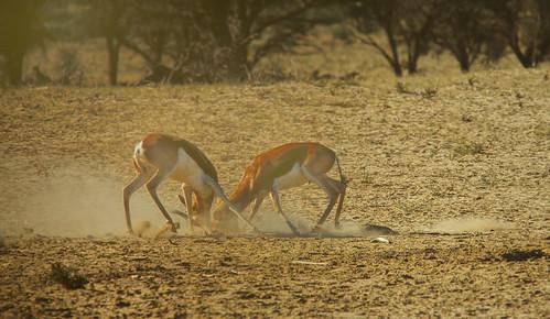 Springbok Rams fighting , Kgalagadi National Park,