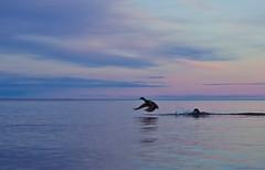 duck (dovlindphoto) Tags: sunset lake reflection nature water birds animals clouds landscape flying sundown sweden pair ducks ml dovlind dovlindphoto