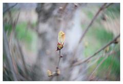 Bolero of Spring (leo.roos) Tags: spring lomography buds lente challenge swirly knoppen krasnogorsk dyxum darosa russianlenses artlens leoroos a7rii zenitnewpetzval5819bokehcontrol aprilfoolishness2016