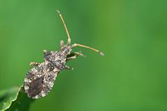 Tip (Luis-Gaspar) Tags: portugal animal bug insect nikon iso400 oeiras f56 1500 insecto 18105 percevejo d60 coreidae hemiptera pacodearcos coreoidea centrocorisvariegatus