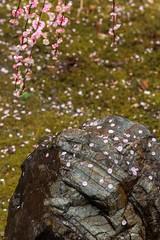 20160229-104546_5K_80 (pya) Tags: kyoto  camellia plumblossoms jonangu     weepingplumblossoms
