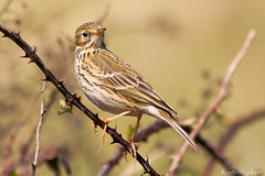 Meadow Pippit_82A6007 (kevinmayhew62) Tags: anthuspratensis meadowpippit