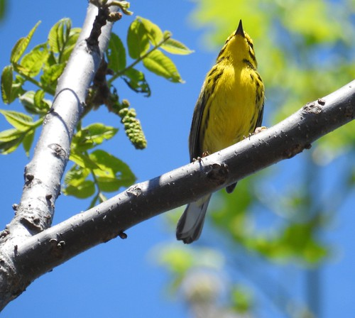 Prairie Warbler 4-17-2016  by Tom Becker