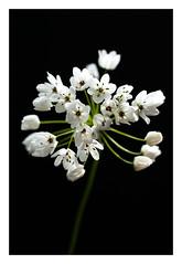 Pas de doutes, le printemps s'installe! (objet introuvable) Tags: flowers light white flower macro green nature fleur contrast fleurs canon garden spring lumire jardin vert blanc printemps flickrfriday canon70d