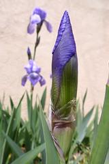 Irys. (cbrozek21) Tags: iris flower purpleflower flowerbud purpleiris irisbud