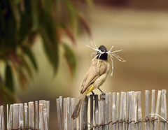 Do you like my new mustache...? -:)  (Ziva_Amir) Tags: bird material mustache nesting bulbul yellowvented pycnonotus xanthopygos  whitespectacled
