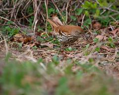 IMG_7295 (pipefitr18201) Tags: birds cardinal bluejay thrasher