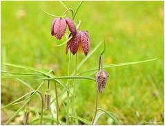 Kiebitzei (mayflower31) Tags: flower wiese blume garten schachbrettblume