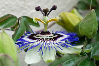 P like ... pistil of the passion flower or Passiflora. Triple P but it looks like à pronunciation challenge 😀