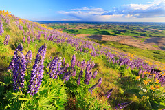 Field of Lupine (Matthew Singer) Tags: washington unitedstates wildflowers garfield palouse scenicviews steptoebutte