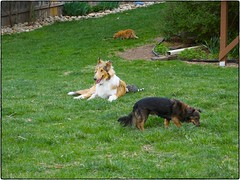 Pup, Jemma And Amelia, April 16, 2016 (Maggie Osterberg) Tags: dog cat collie nebraska dachshund lincoln fujifilm pup x20 maggieo roughcollie ameliapond colorefexpro4 jemmasimmons