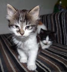 angry  cat kitten (Simon Dell Photography) Tags: baby cute cat feline very felix sheffield fluffy kittens awsome