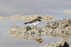 Common Ringed Plover at Taqah S24A6802 (grebberg) Tags: bird march oman plover shorebird 2016 wader commonringedplover dhofar charadriushiaticula charadrius taqah
