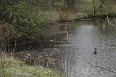 049.Mallards3-parkfield (aetherspoon) Tags: park bird pond greentree birb