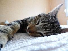 Un chat (yann.calohard) Tags: animal chat compagnie repos flin griffe