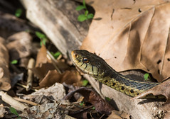 Super Snake Day! (Bonnie Ott) Tags: daniels gartersnake patapscovalleystatepark