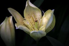Delicacy (Rana Saltatrice) Tags: flower macro green primavera nature beauty yellow bulb garden petals spring flora fiori lilium giglio giardino delicacy canon100d rebelsl1 valentinaconte