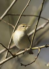 Willow Warbler (andynayler) Tags: spring rspb leightonmoss
