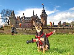 Gringo (Mattijsje) Tags: dog holland castle netherlands festival de blood kill knife nederland hond killed alive chiwawa mes gringo bloed haarzuilens hondje kasteel haar waakhond kasteeldehaar kingofhiscastle elfia