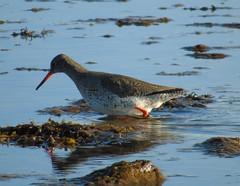 Redshank in Stennes loch (stuartcroy) Tags: sea bird water island orkney stenness waves loch redshank wader