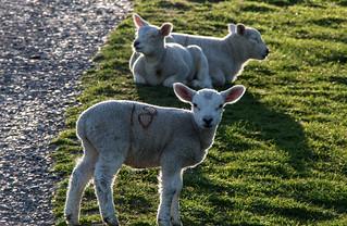 Hello Ewe Three