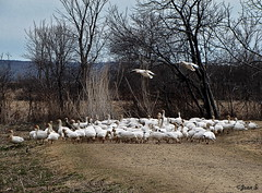 Preparing for landing (Jean S..) Tags: trees sky field grass birds fly geese spring day outdoor hill group landing