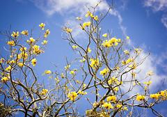 'El Lapacho amarillo..' (Suzana Fernandes Fotografia) Tags: flores azul fauna natureza cu amarillo amarelo cielo ip nuvens beleza arvore galhos outono lapacho