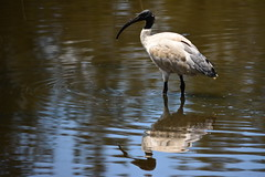 White Ibis (Luke6876) Tags: bird animal wildlife ibis sydneyolympicpark australianwildlife australianwhiteibis