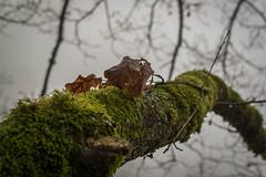 Feuilles mortes (-Baptiste Coub-) Tags: trees fog forest bokeh outdoor hiver paysage foggyday faune chablais 35mn allinge foggyforest exterrieur d3100 baptistecoubronne grottenotredamedelourde