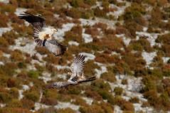 Lammergeiers (Amanda Guercio) Tags: vulture beardedvulture lammergier