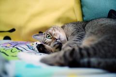 Bill the little princess (Steve only) Tags: auto cats color bill reflex f14 sony 55mm m42 porst 5514 mitakon nex3 lensturbo