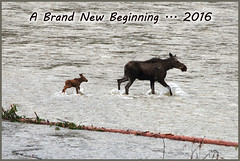 NEW BEGINNING ... 2016 (Aspenbreeze) Tags: river wildlife country birth moose newborn wildanimal justborn babymoose madisonriver calfmoose wyomingwildlife coloradowildlife wildmoose animalbirth aspenbreeze moonandbackphotography bevzuerlein