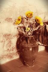Girasoli (Michele Fantini) Tags: campagna giallo antico vaso girasoli seppia mirroreye
