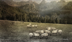 Sheep In Meadow (clabudak) Tags: composite sheep texture mountains meadow fence photoshop topaz outdoors trees nature grazing artistic photo netartii simplysuperb untouchabledreams healinglightofthespirit callingallangels platinumheartaward
