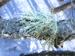 Usnea sp. on ponderosa pine (tigerbeatlefreak) Tags: pine nebraska lichen ponderosa usnea