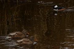 (Ian Threlkeld) Tags: west bird rain birds nikon bc britishcolumbia explore rainy popular raining westcoast pnw mapleridge irt byrd naturephotography nikonphotos bcoutdoors beautifulbc wildlifephotography nikonphotography ridgemeadows d7000 mynikonlife