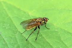 Anglų lietuvių žodynas. Žodis fly-leaf reiškia n tip. švarus lapas (knygos pradžioje arba gale. lietuviškai.