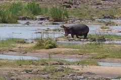 Hippopotamus (TomasMazon) Tags: africa animal fauna river wildlife safari hippo hippopotamus botswana bigfive hipopotamo salvaje