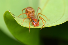 Myrmarachne plataleoides (Ant-Mimicking Jumping Spider) (oliveback) Tags: macro handheld diffuser extensiontube sbr200 kenko14x d7100 afsdxmicronikkor85mmf35gedvr