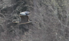 on a mission 2 (DML0mba) Tags: bird water flying inflight capecod yarmouth greatblueheron foul kapechick