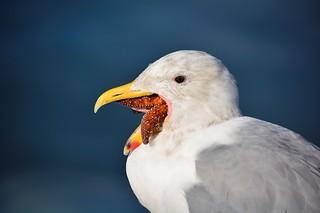 Gull Eating Sea Star-Port Angeles Pier WA