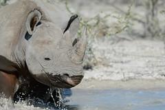Rhino delight (africadunc) Tags: africa park bath mud national rhino splash namibia blackrhino etosha wallow