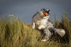 Jaws (redshift1960) Tags: dog ball duke catch bordercollie bluemerle chuckit