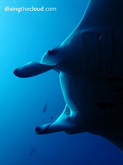 Manta birostris (divingthecloud) Tags: sea fish pez mar agua diving maldives manta buceo mantabirostris maldivas fotosub bajoelagua