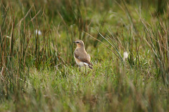 Northern wheatear from behind (Jaedde & Sis) Tags: stenpikker northern wheatear oenantheoenanthe behind ground grass storybookwinner